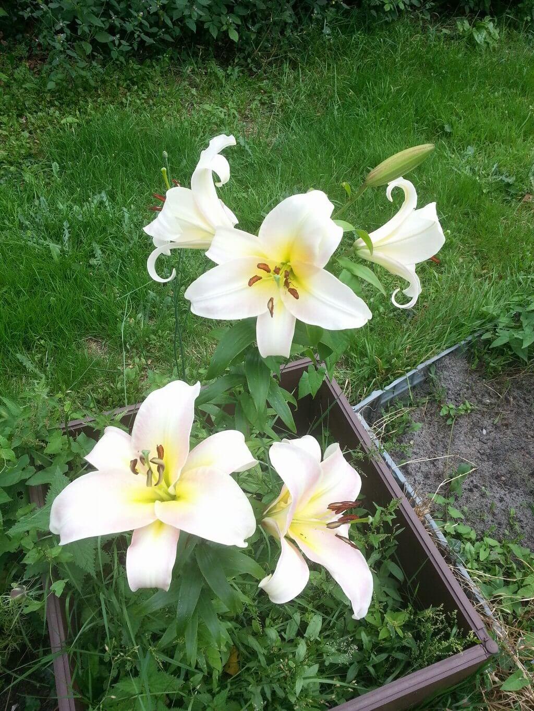 tree lily pretty woman